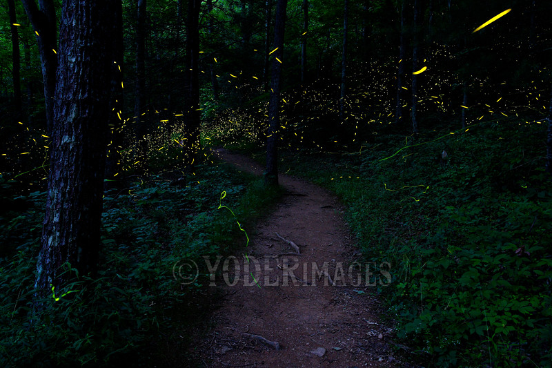 """Lightning Bugs and """"Blue Ghost"""" Fireflies along a wooded trail, Great Smoky Mountains National Park"""