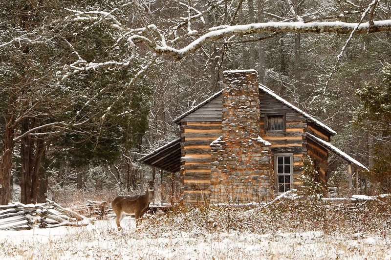 Whitetail Deer in front of the John Oliver Cabin, Cades Cove, Great Smoky Mountains National Park