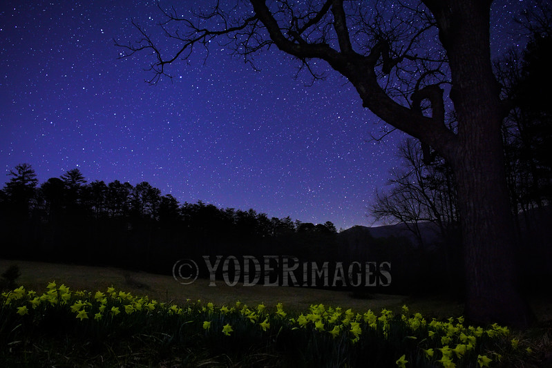 Cades Cove Daffodils, Great Smoky Mountains National Park