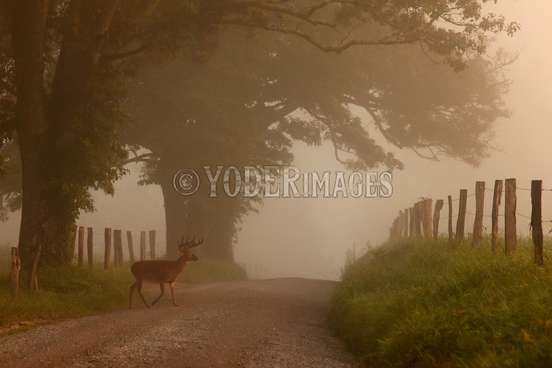 Whitetail deer, Sparks Lane, Cades Cove, Great Smoky Mountains National Park