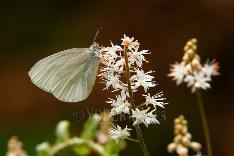 West Virginia White Butterfly (Pieris virginiensis) on Foamflower (Tiarella cordifolia)