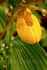 Yellow Lady's Slipper (Cypripedium pubescens) and Bishop's Caps (Mitella diphylla)