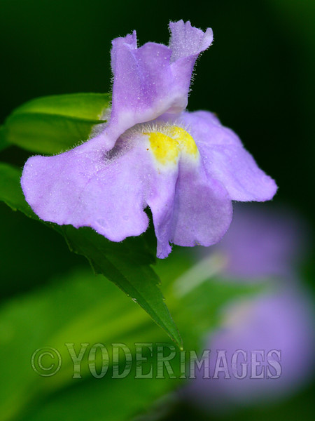Winged Monkey Flower (Mimulus alatus)