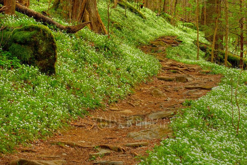 Fringed Phacelia along Porters Creek Trail, Great Smoky Mountains National Park.