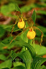 Yellow Lady's Slipper (Cypripedium pubescens)