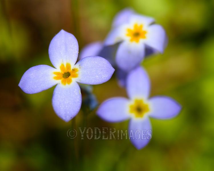 Bluets (Houstonia serpyllifolia)