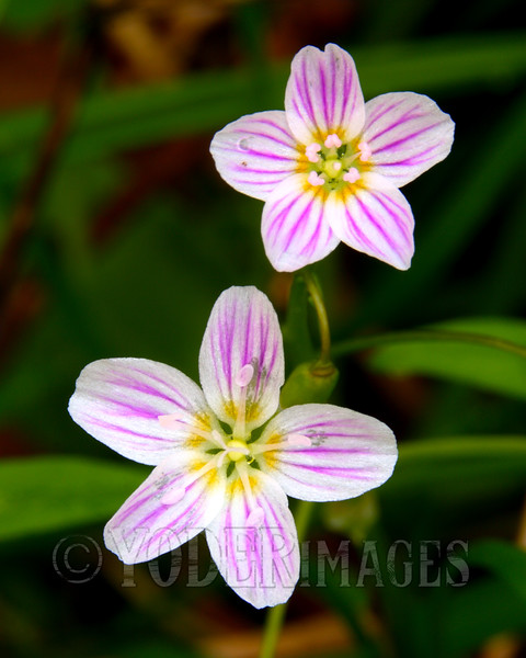 Virginia Spring Beauty (Claytonia Virginica)