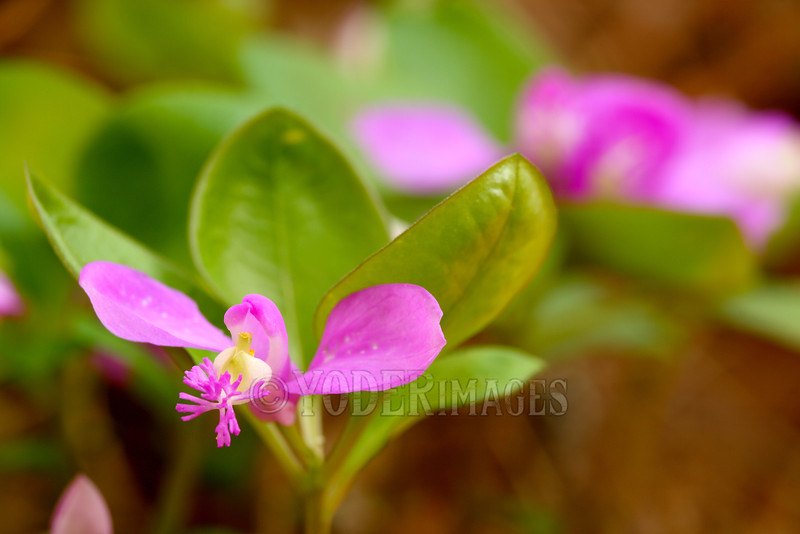 Fringed Polygala (Polygala paucifolia) also called Gaywings