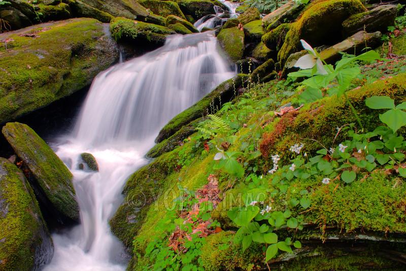 Sweet White Trillium (Trillium simile) and Sweet White Violet (Viola blanda) along Whiteoak Flats Branch cascade, Great Smoky Mountains National Park.