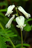 Squirrel Corn (Dicentra canadensis)