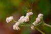 Plantain-leaved Pussytoes (Antennaria plantaginifolia)