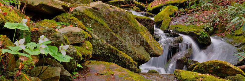 Sweet White Trillium (Trillium simile) along Whiteoak Flats Branch cascade, Great Smoky Mountains National Park
