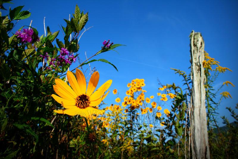 Narrow-leaf Sunflower (Helianthus angustifolius)