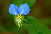 Asiatic Dayflower (Commelina communis)