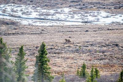 Alaska Wanderer