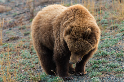 We saw this Grizzly after crossing the Canadian Border in the Yukon Territory, about 5 miles east of the White River - May 2015.