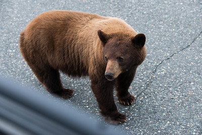 This brown-phase black bear climbed on our Jeep while we were driving through the Yukon Territory - May 2015.