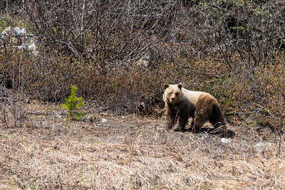 Grizzly in the Yukon Territory - May 2015.