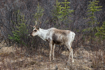Caribou on the Cassiar Highway in British Columbia - May 2015.