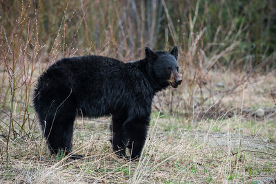 Black Bear on the Cassiar Highway in British Columbia - May 2015.
