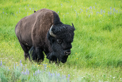 Bison in Yellowstone National Park - July 2017.