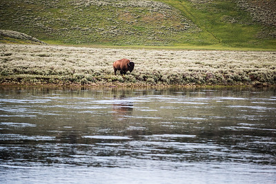 Bison in Yellowstone National Park near Hayden Valley - July 2017.