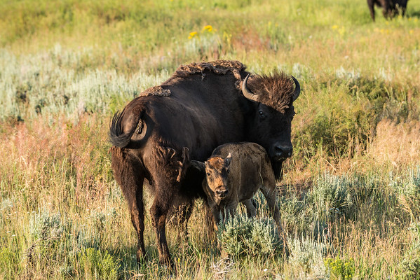 Bison Two