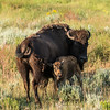 Bison and calf in Lamar Valley at Yellowstone National Park - July 2017.