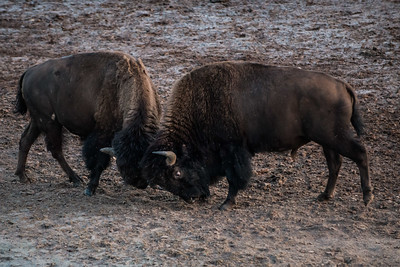 Bison brawling at dusk in Yellowsone National Park - July 2017