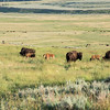 Bison in Lamar Valley at Yellowstone National Park - July 2017.