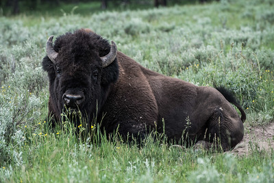 Bison laying in the grass in Yellowstone National Park - July 2017.