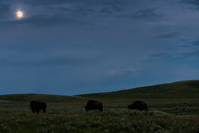 Bison grazing at dusk in Yellowstone National Park near Hayden Valley - July 2017.