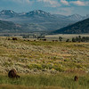 Bison grazing in Lamar Valley at Yellowstone National Park - July 2017.