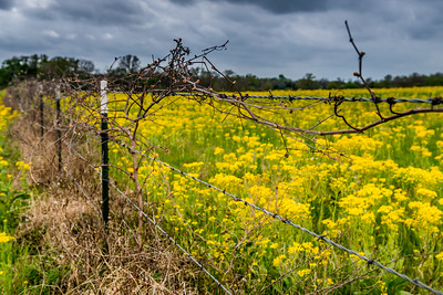 Field of Texas Yellow Wildflowers - March 2017