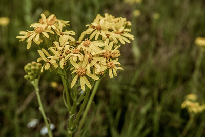 Texas Yellow Wildfowers - March 2017.