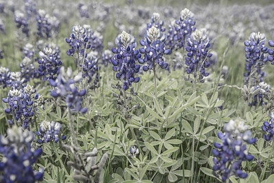 Texas Bluebonnets - March 2017.