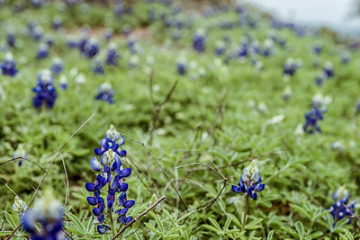 Texas Bluebonnets - March 2017.