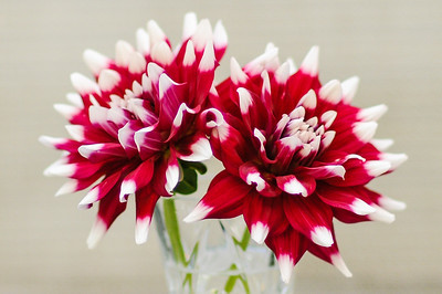 Two Checkers Dahlias