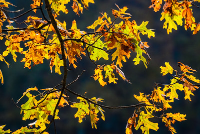 Branch of Oak Leaves in Autumn