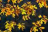 Branch of Oak Leaves in Autumn