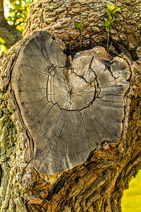 Heart of a Tree