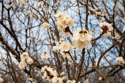 Apricot Tree Bloom Bee