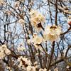 Apricot Tree Bloom Bee