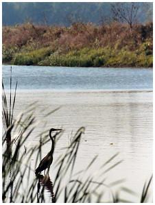 Crane Walks in Water