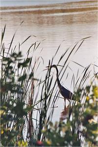 Crane Wading