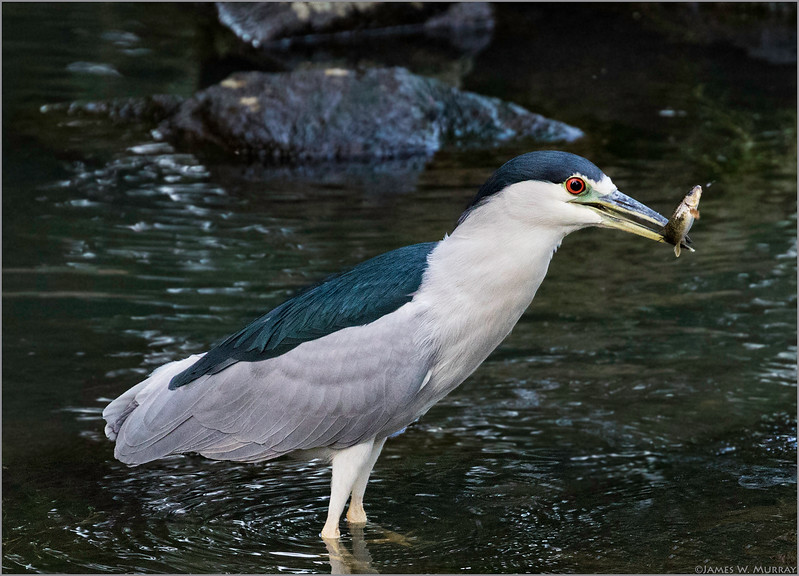 Black-crowned Night Heron with Morsel ... [#7D11.2017.0315_2]