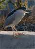 Black-crowned Night Heron on the edge ... [#7D11.2017.0216_2]