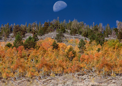Golden Aspens Setting Moon
