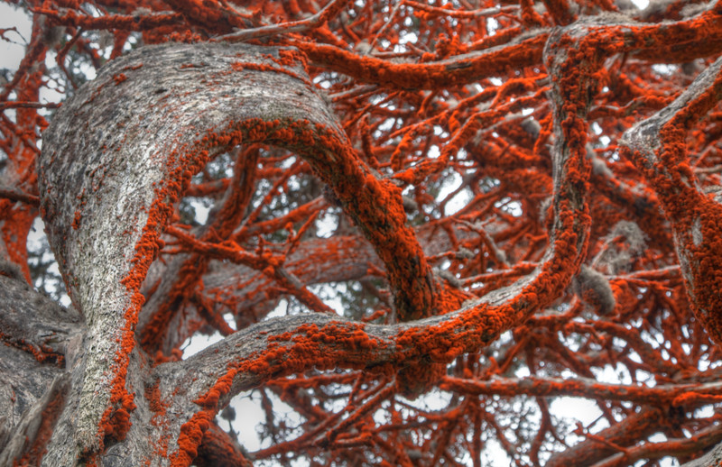 Red Lichen / Cypress Tree