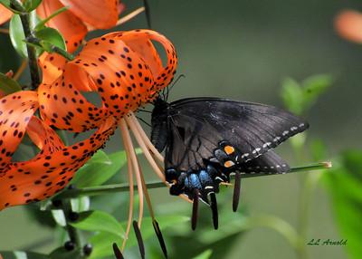 Backyard beauty- Female Black Swallowtail